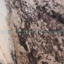 how to grow black mold
